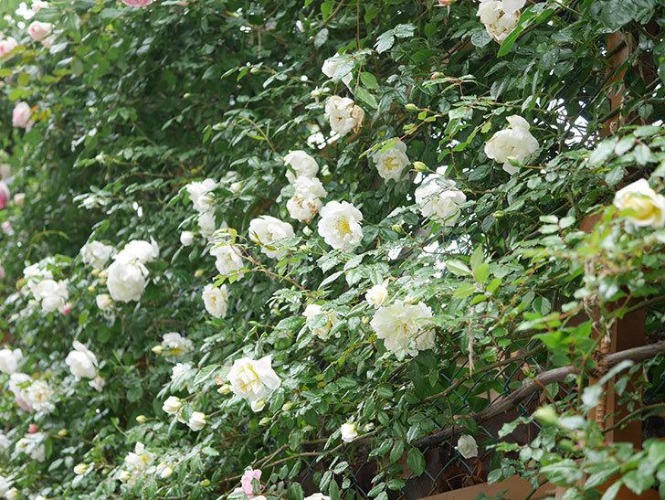 シティ・オブ・ヨーク(City of York)の花がたくさん咲いた。ツルバラ。2021年-010.jpg