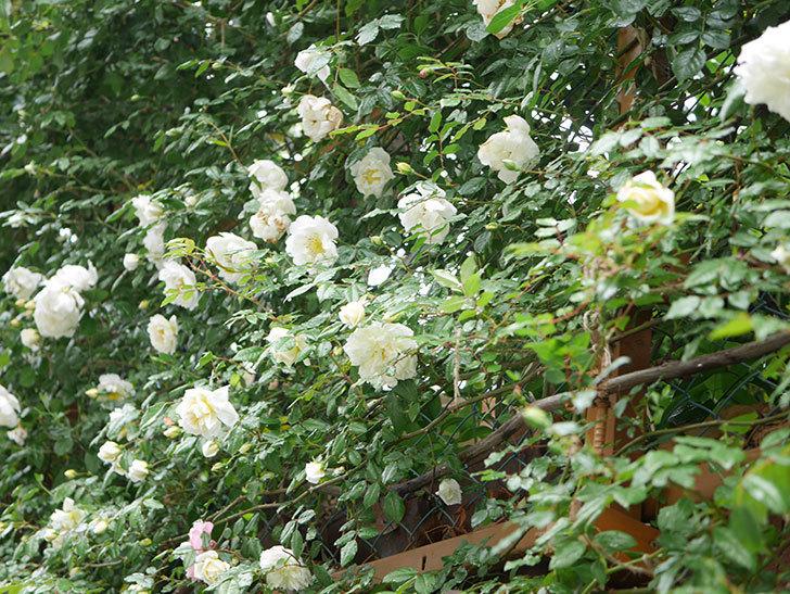 シティ・オブ・ヨーク(City of York)の花がたくさん咲いた。ツルバラ。2021年-011.jpg