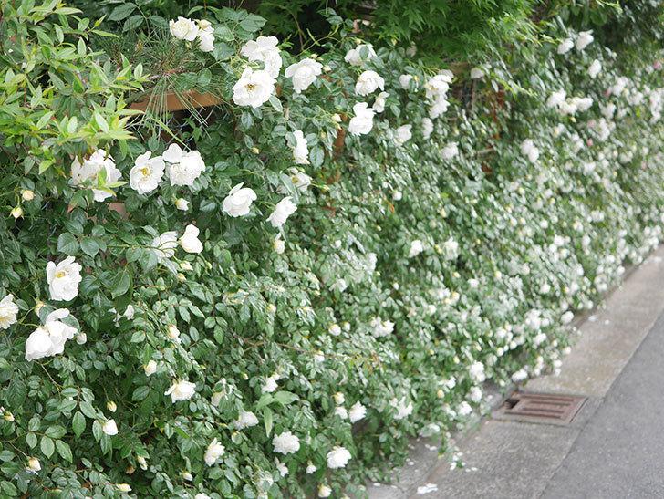 シティ・オブ・ヨーク(City of York)の花がたくさん咲いた。ツルバラ。2021年-012.jpg