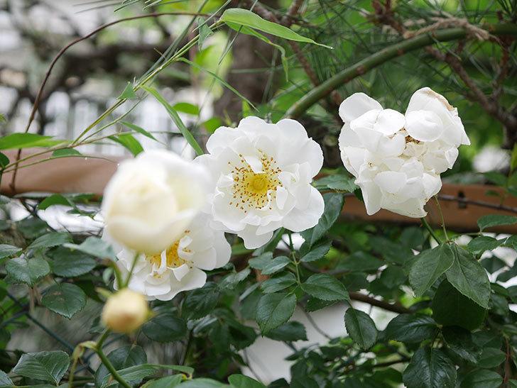 シティ・オブ・ヨーク(City of York)の花がたくさん咲いた。ツルバラ。2021年-013.jpg