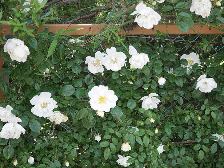シティ・オブ・ヨーク(City of York)の花がたくさん咲いた。ツルバラ。2021年-019.jpg