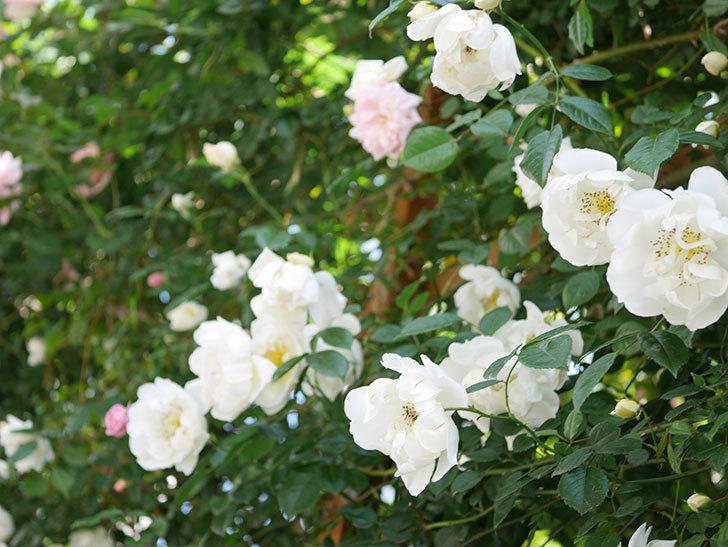 シティ・オブ・ヨーク(City of York)の花がたくさん咲いた。ツルバラ。2021年-022.jpg