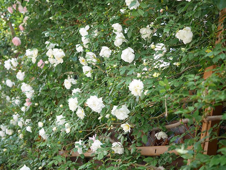 シティ・オブ・ヨーク(City of York)の花がたくさん咲いた。ツルバラ。2021年-023.jpg