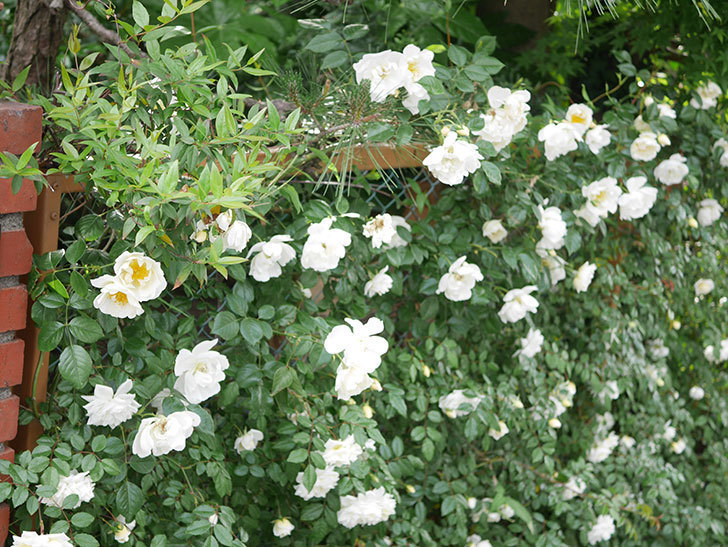 シティ・オブ・ヨーク(City of York)の花がたくさん咲いた。ツルバラ。2021年-024.jpg