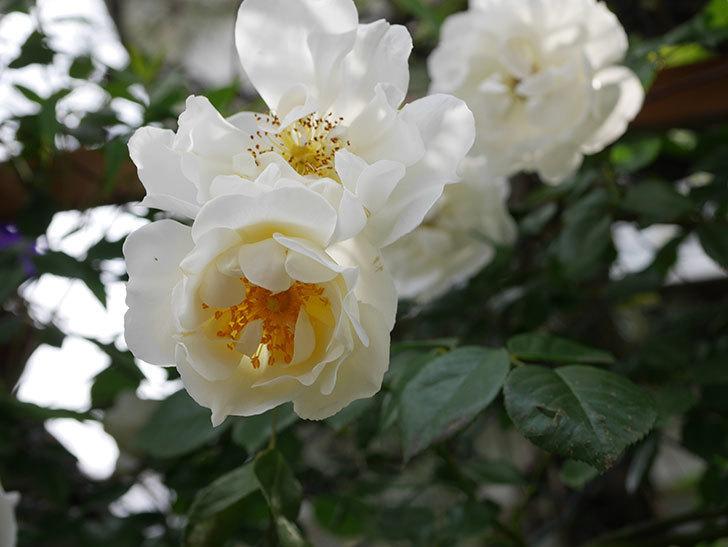 シティ・オブ・ヨーク(City of York)の花がたくさん咲いた。ツルバラ。2021年-026.jpg