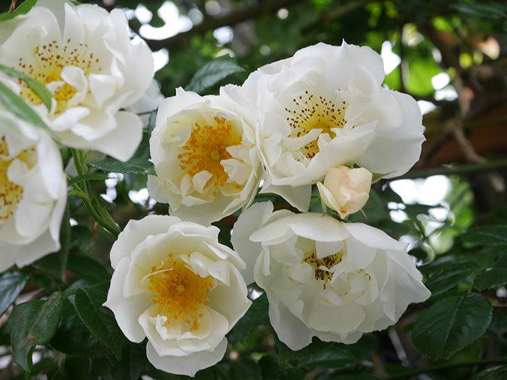 シティ・オブ・ヨーク(City of York)の花がたくさん咲いた。ツルバラ。2021年-029.jpg