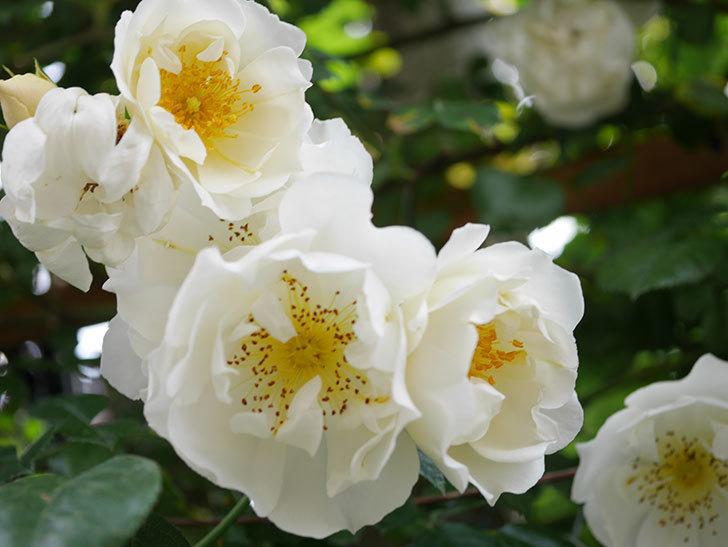 シティ・オブ・ヨーク(City of York)の花がたくさん咲いた。ツルバラ。2021年-030.jpg