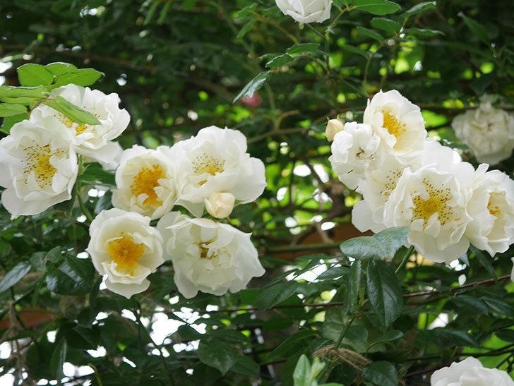 シティ・オブ・ヨーク(City of York)の花がたくさん咲いた。ツルバラ。2021年-031.jpg