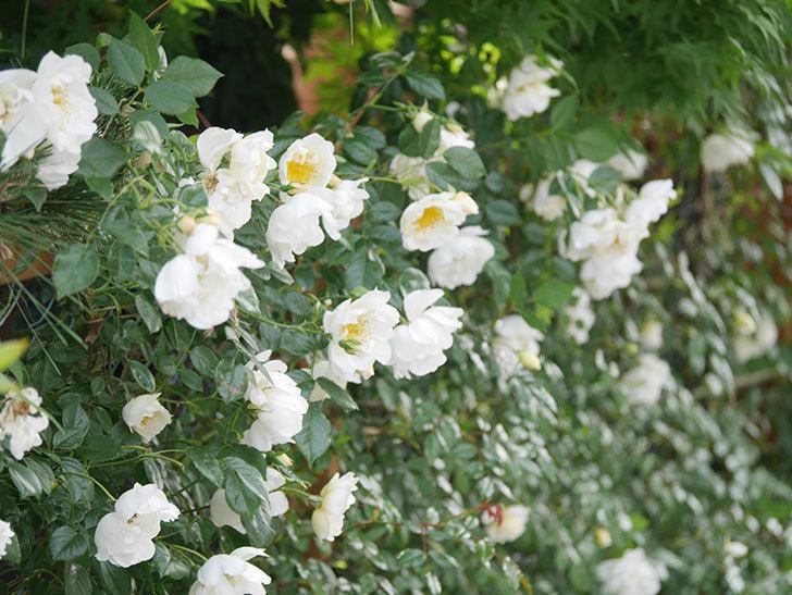 シティ・オブ・ヨーク(City of York)の花がたくさん咲いた。ツルバラ。2021年-034.jpg