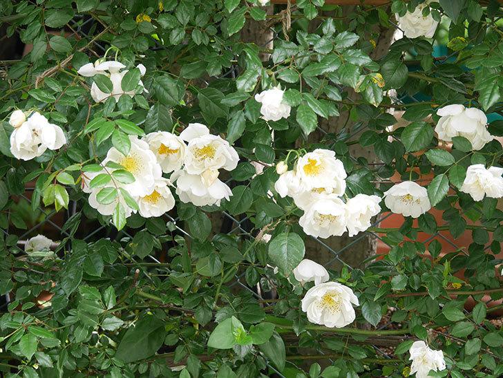シティ・オブ・ヨーク(City of York)の花がたくさん咲いた。ツルバラ。2021年-035.jpg