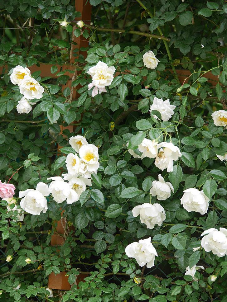 シティ・オブ・ヨーク(City of York)の花がたくさん咲いた。ツルバラ。2021年-039.jpg