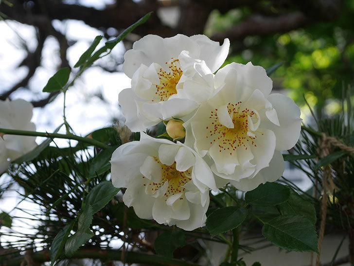シティ・オブ・ヨーク(City of York)の花がたくさん咲いた。ツルバラ。2021年-041.jpg