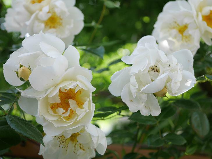 シティ・オブ・ヨーク(City of York)の花がたくさん咲いた。ツルバラ。2021年-042.jpg