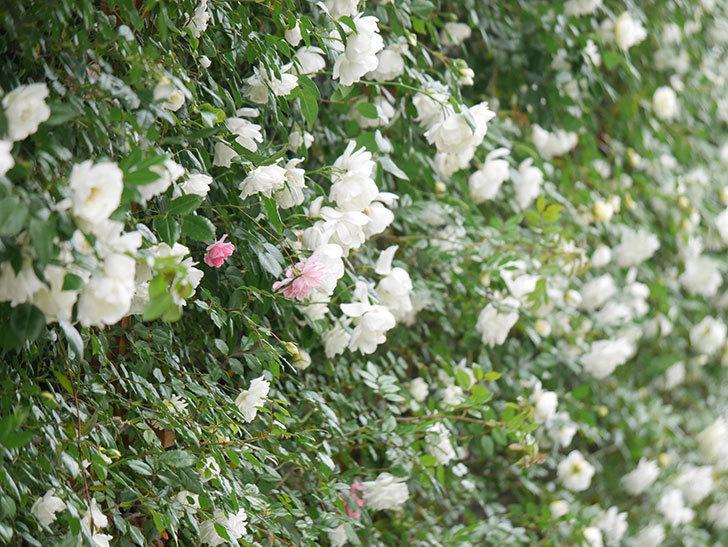 シティ・オブ・ヨーク(City of York)の花がたくさん咲いた。ツルバラ。2021年-054.jpg