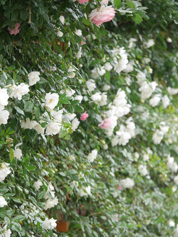 シティ・オブ・ヨーク(City of York)の花がたくさん咲いた。ツルバラ。2021年-056.jpg