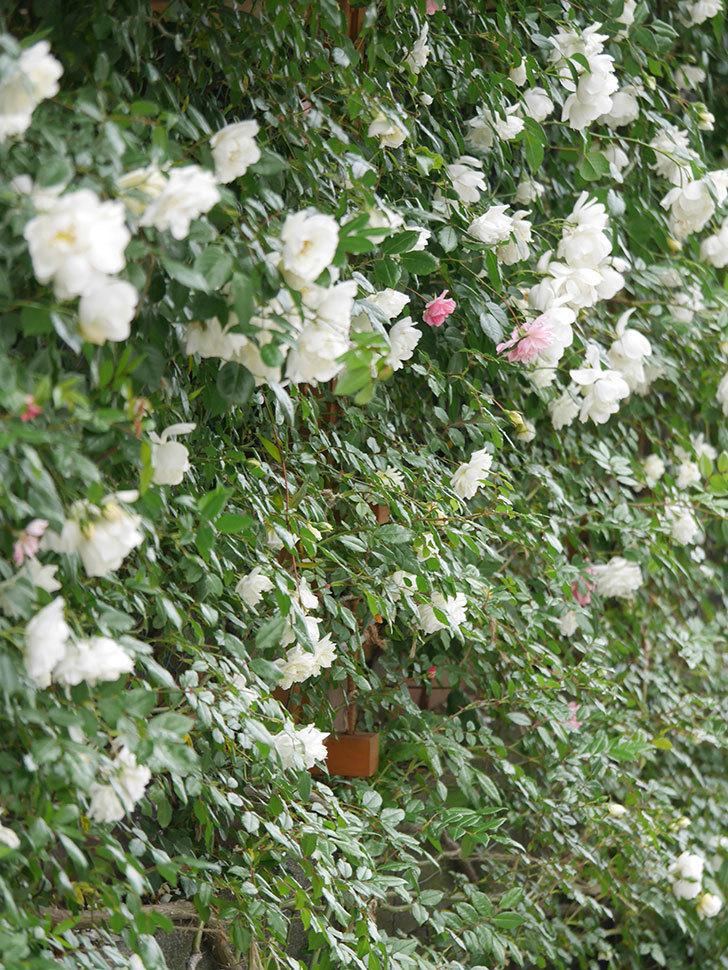 シティ・オブ・ヨーク(City of York)の花がたくさん咲いた。ツルバラ。2021年-057.jpg