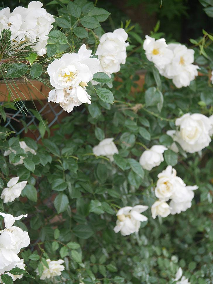 シティ・オブ・ヨーク(City of York)の花がたくさん咲いた。ツルバラ。2021年-059.jpg