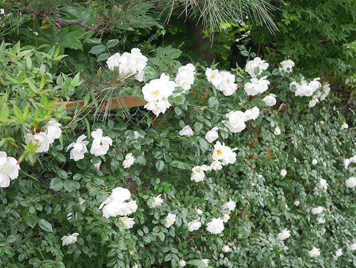 シティ・オブ・ヨーク(City of York)の花がたくさん咲いた。ツルバラ。2021年-061.jpg