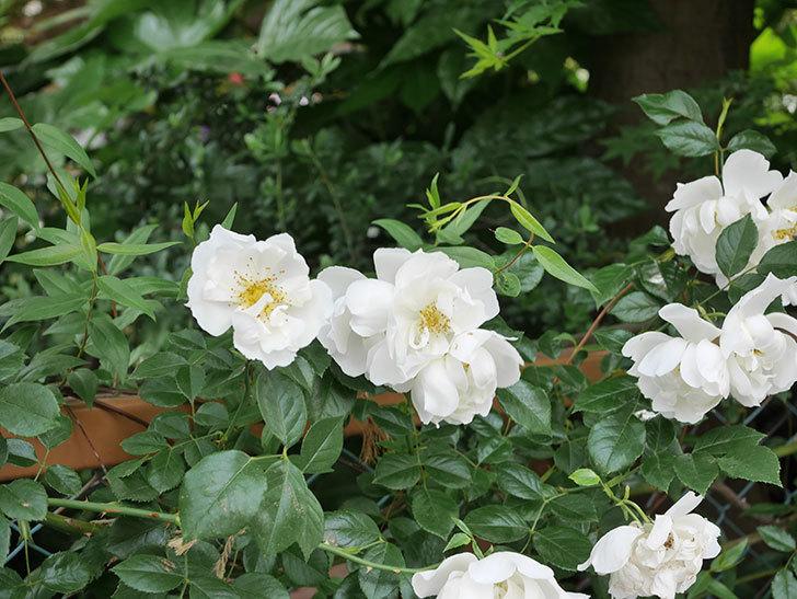 シティ・オブ・ヨーク(City of York)の花がたくさん咲いた。ツルバラ。2021年-063.jpg
