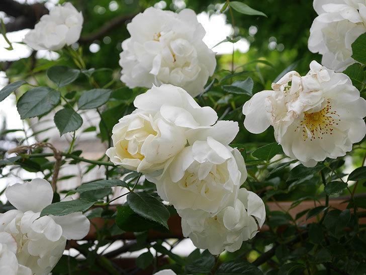 シティ・オブ・ヨーク(City of York)の花がたくさん咲いた。ツルバラ。2021年-064.jpg
