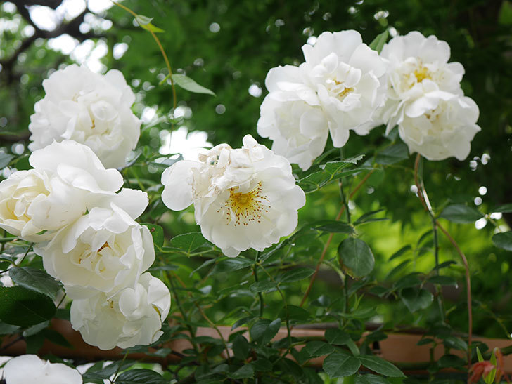 シティ・オブ・ヨーク(City of York)の花がたくさん咲いた。ツルバラ。2021年-066.jpg