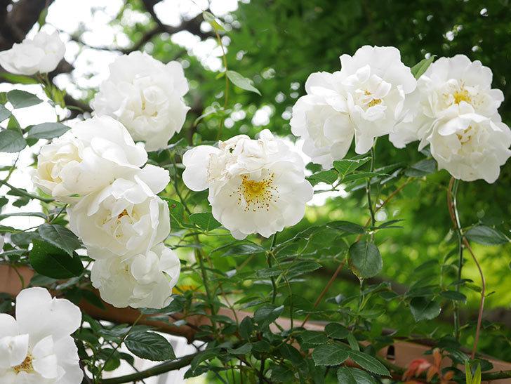 シティ・オブ・ヨーク(City of York)の花がたくさん咲いた。ツルバラ。2021年-068.jpg