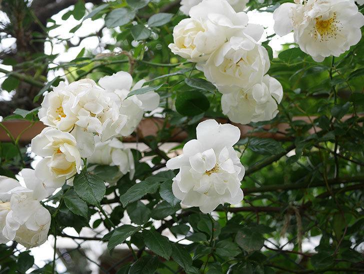 シティ・オブ・ヨーク(City of York)の花がたくさん咲いた。ツルバラ。2021年-069.jpg