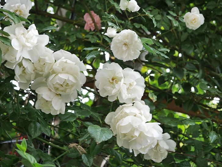 シティ・オブ・ヨーク(City of York)の花がたくさん咲いた。ツルバラ。2021年-072.jpg