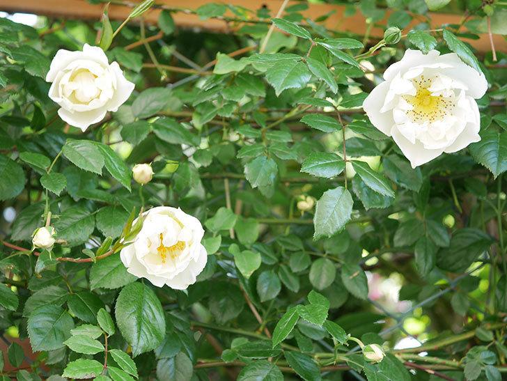 シティ・オブ・ヨーク(City of York)の花が増えて来た。ツルバラ。2021年-018.jpg