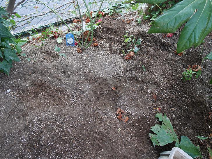 シティ・オブ・ヨーク(ツルバラ)に寒肥を施した。2019年-4.jpg
