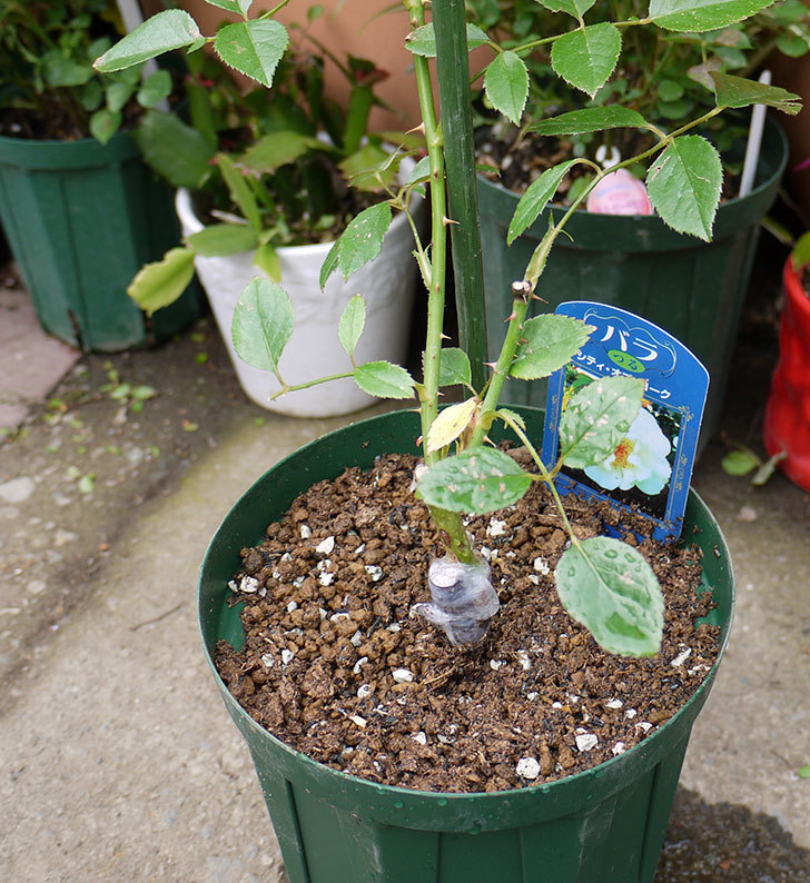 シティ・オブ・ヨーク(ツルバラ)の新苗を5号ロングスリット鉢に植えた。2016年-1.jpg