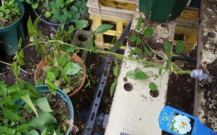 シティ・オブ・ヨーク(ツルバラ)の新苗を5号ロングスリット鉢に植えた。2016年-2.jpg