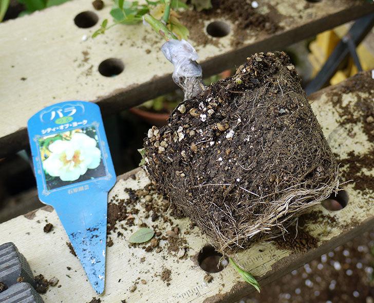 シティ・オブ・ヨーク(ツルバラ)の新苗を5号ロングスリット鉢に植えた。2016年-3.jpg