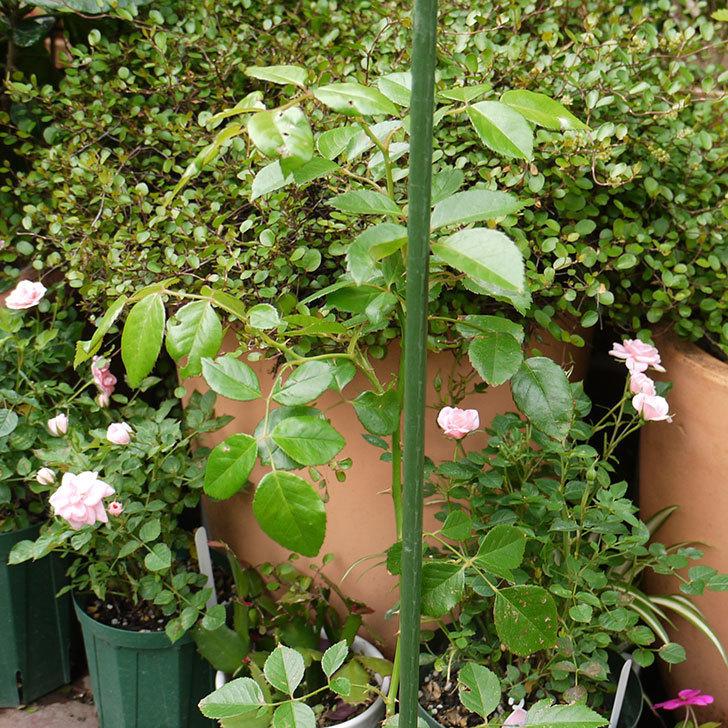 シティ・オブ・ヨーク(ツルバラ)の新苗を5号ロングスリット鉢に植えた。2016年-5.jpg