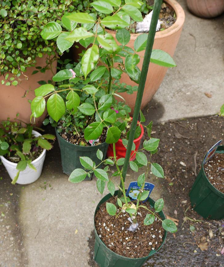 シティ・オブ・ヨーク(ツルバラ)の新苗を5号ロングスリット鉢に植えた。2016年-6.jpg