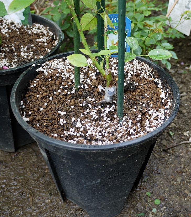 シティ・オブ・ヨーク(ツルバラ)の新苗を8号のEUロングスリット鉢に鉢増しした。2016年-1.jpg