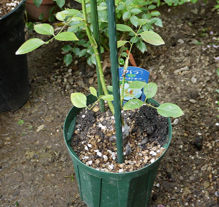 シティ・オブ・ヨーク(ツルバラ)の新苗を8号のEUロングスリット鉢に鉢増しした。2016年-2.jpg