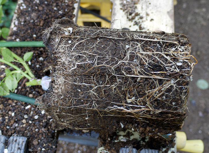 シティ・オブ・ヨーク(ツルバラ)の新苗を8号のEUロングスリット鉢に鉢増しした。2016年-4.jpg