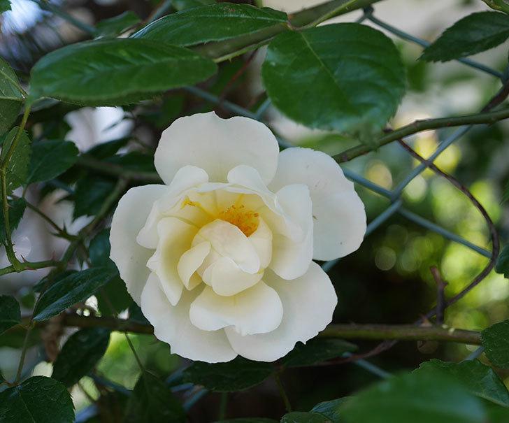 シティ・オブ・ヨーク(ツルバラ)の花が咲いた。2019年-1.jpg