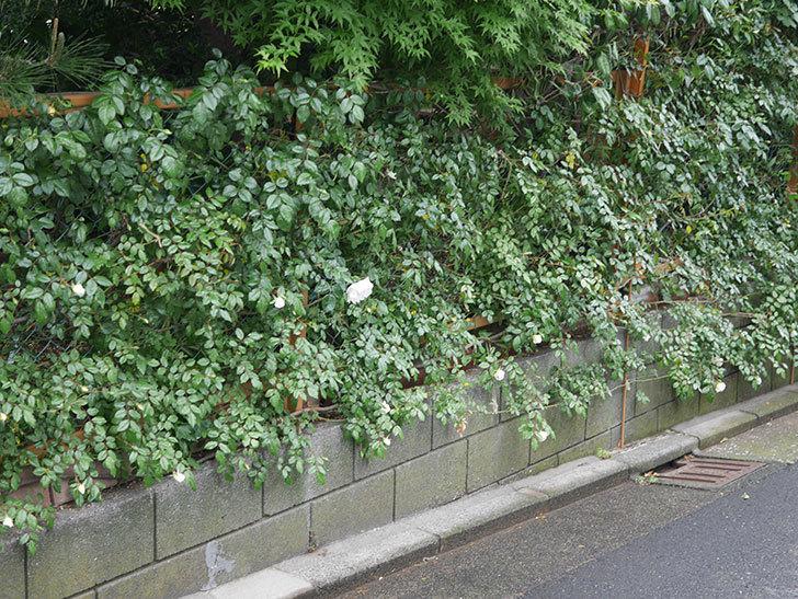 シティ・オブ・ヨーク(ツルバラ)の花が咲いた。2020年-4.jpg