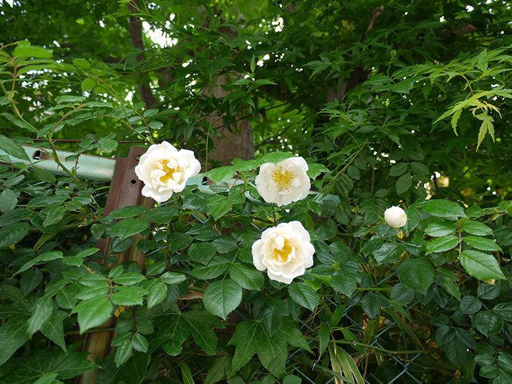 シティ・オブ・ヨーク(ツルバラ)の花が増えてきた。2017年-6.jpg