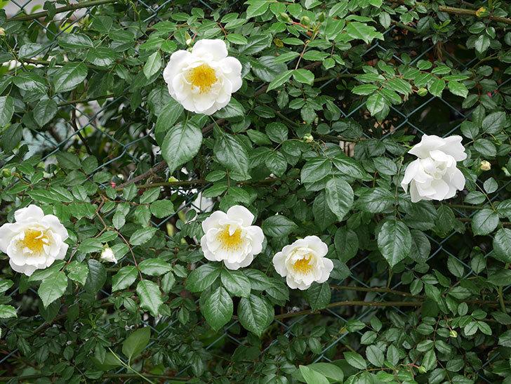 シティ・オブ・ヨーク(ツルバラ)の花が増えて来た。2019年-1.jpg