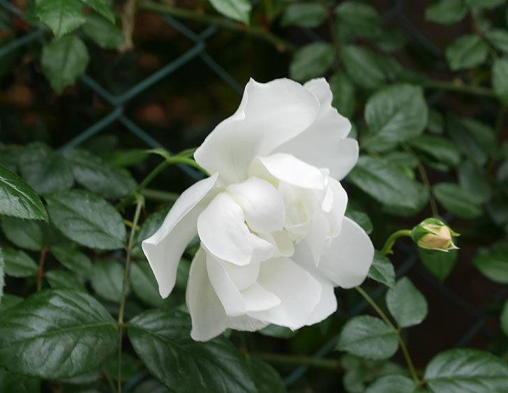 シティ・オブ・ヨーク(ツルバラ)の花が増えて来た。2019年-11.jpg