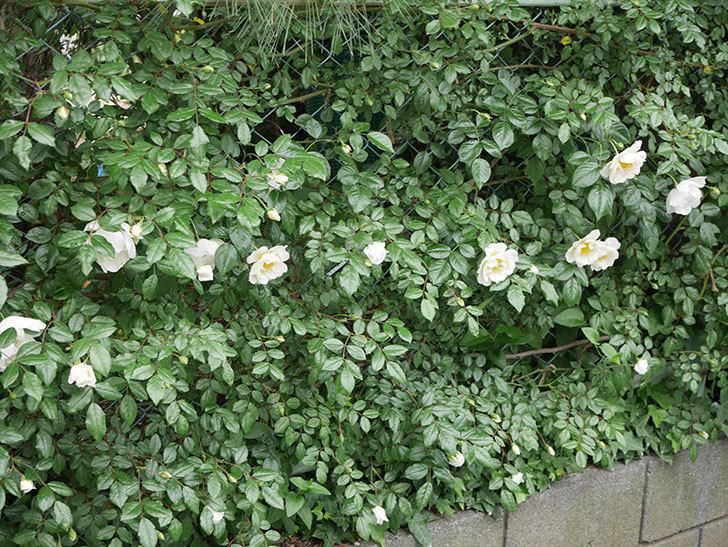 シティ・オブ・ヨーク(ツルバラ)の花が増えて来た。2019年-3.jpg