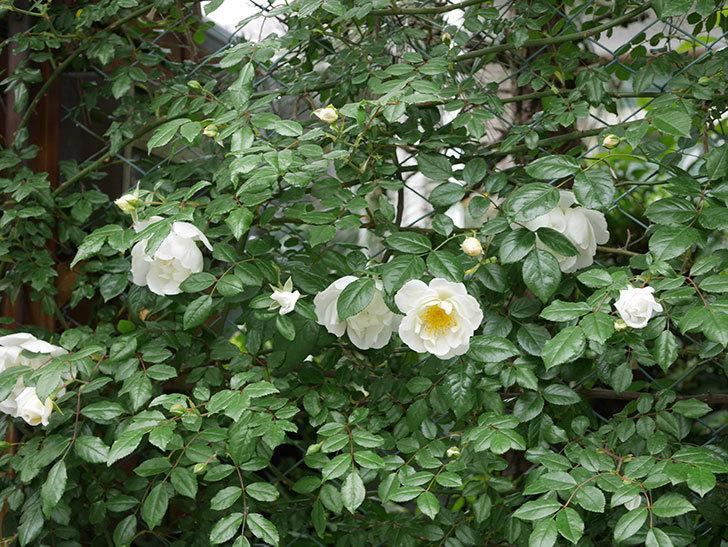 シティ・オブ・ヨーク(ツルバラ)の花が増えて来た。2019年-4.jpg