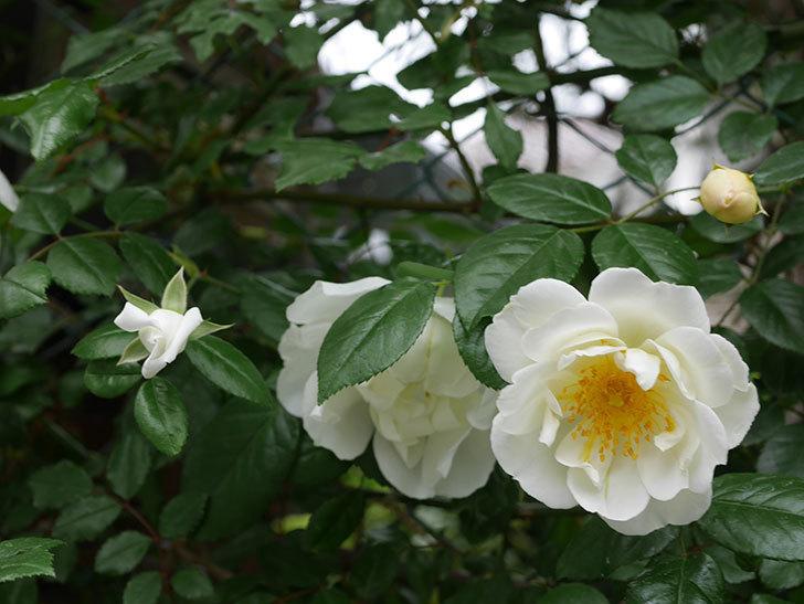 シティ・オブ・ヨーク(ツルバラ)の花が増えて来た。2019年-8.jpg