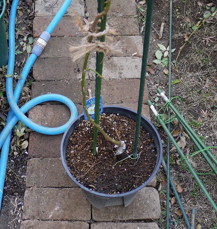 シティ・オブ・ヨーク(ツルバラ)の鉢植えを地植えして誘引した。2017年-11.jpg