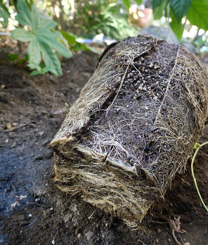 シティ・オブ・ヨーク(ツルバラ)の鉢植えを地植えして誘引した。2017年-14.jpg
