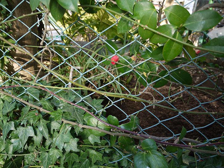 シティ・オブ・ヨーク(ツルバラ)の鉢植えを地植えして誘引した。2017年-22.jpg