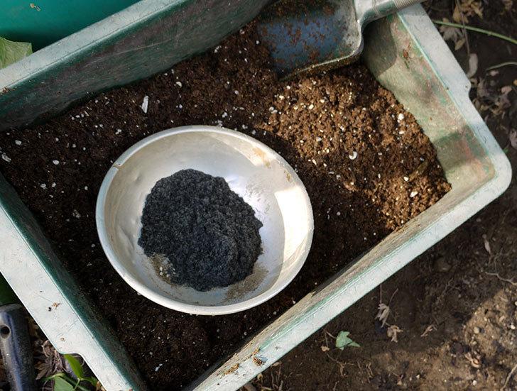 シティ・オブ・ヨーク(ツルバラ)の鉢植えを地植えして誘引した。2017年-6.jpg
